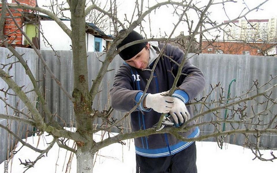 Когда и как правильно обрезать грушу зимой