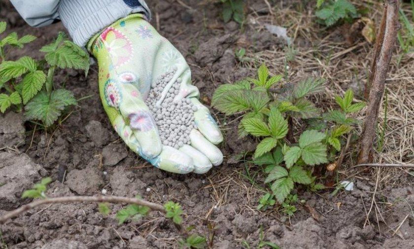 Чем подкормить малину весной для большого урожая