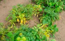Почему желтеют листья картофеля в июне и что делать