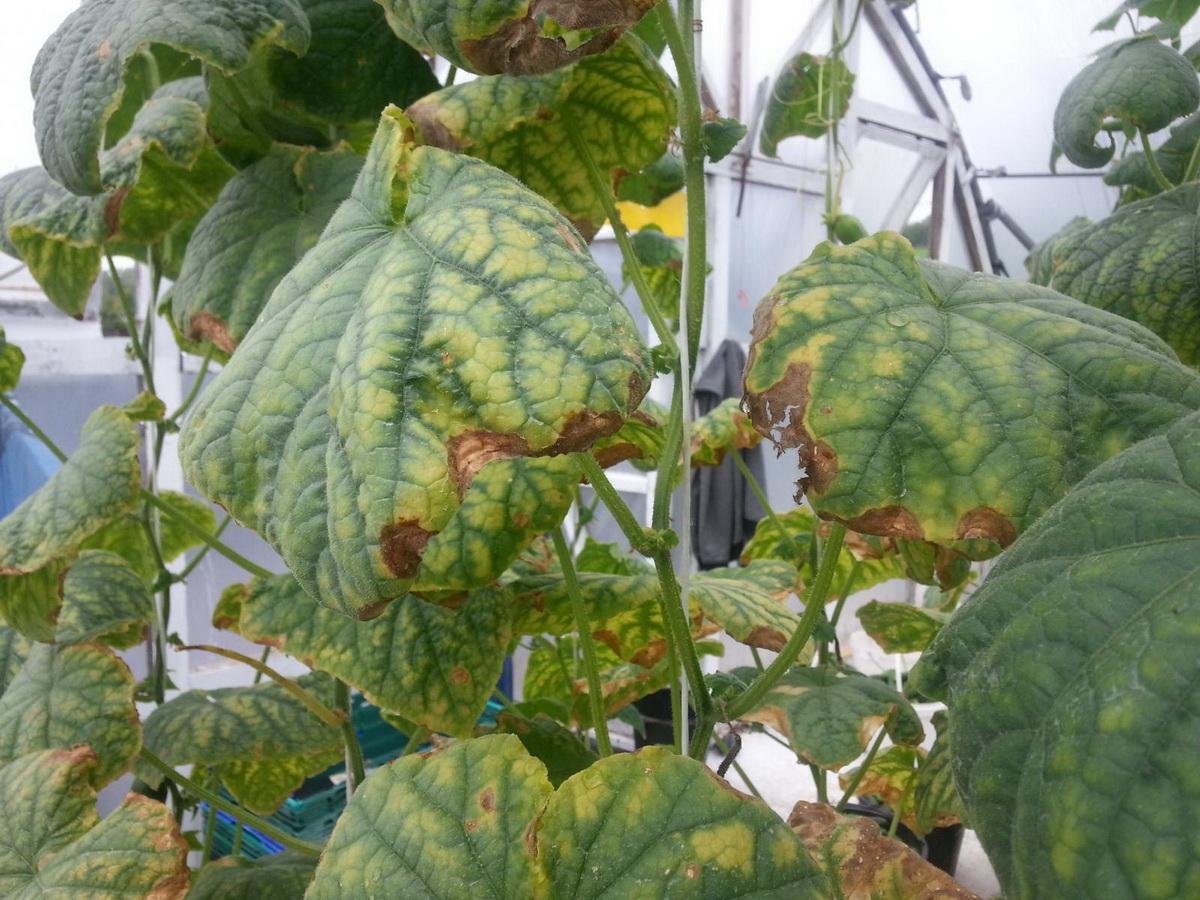 Что делать, если желтеют и сохнут листья у огурцов в открытом грунте
