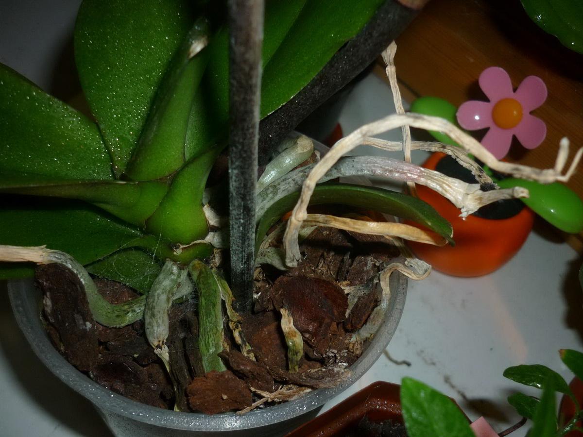 Что делать, если у орхидеи опали цветы и сохнет стебель
