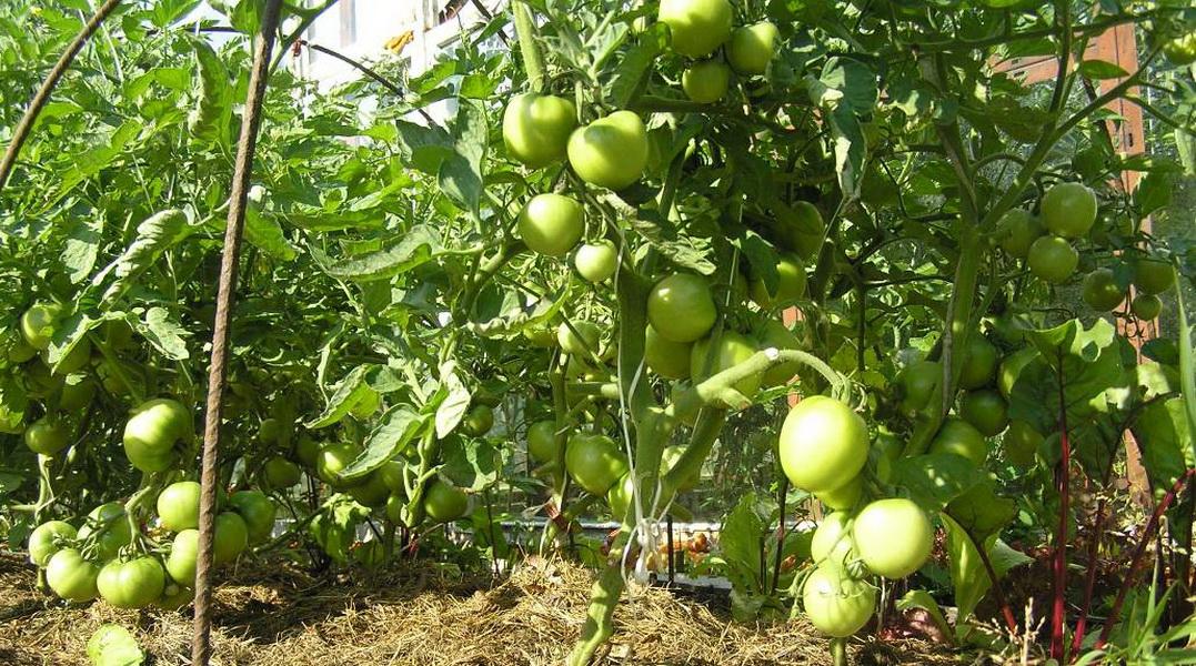 Что делать, если скручиваются листья на томатах
