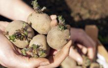 Как подготовить картофель к посадке весной