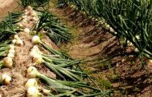 Посадка и выращивание лука китайским способом
