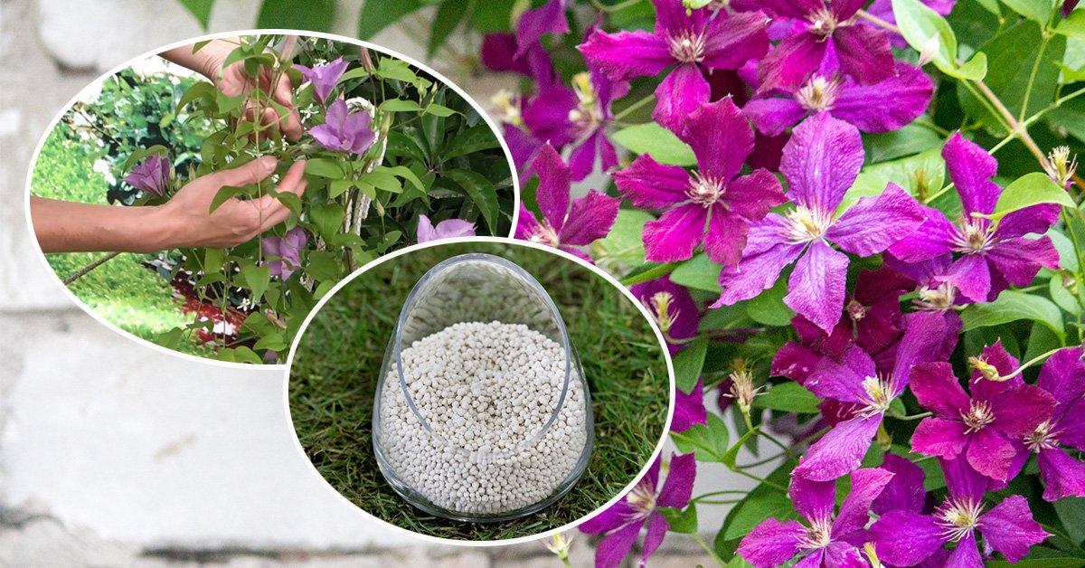 Чем подкормить клематисы весной для цветения и роста