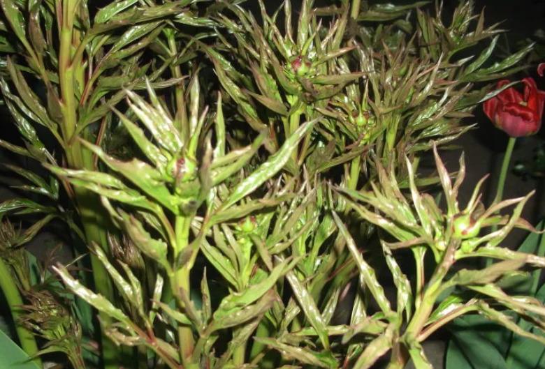 Почему скручиваются листья у пиона и что делать