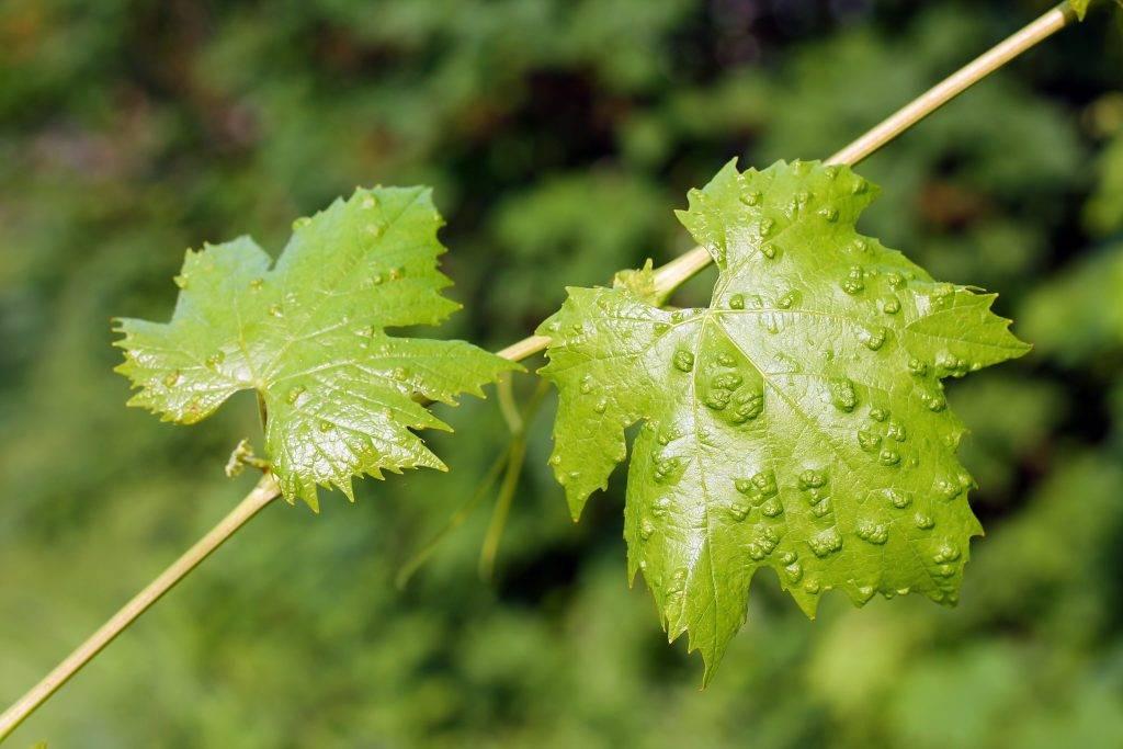 Как бороться с паутинным клещом на винограде