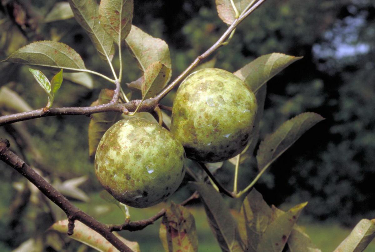 Почему появляются черные точки на листьях яблони