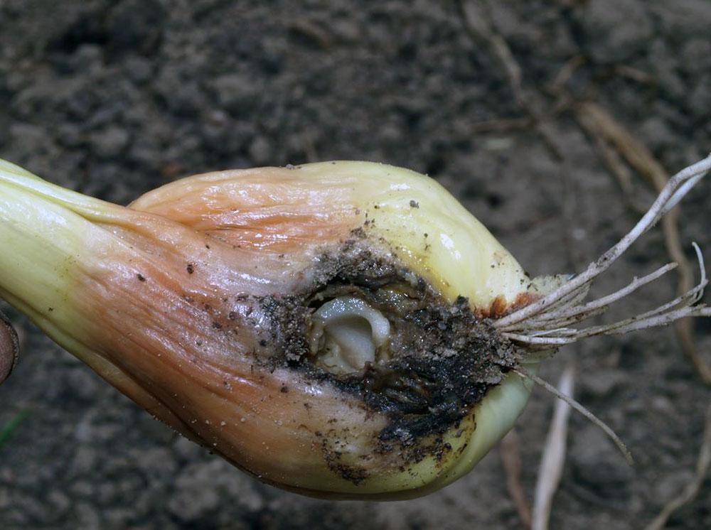Методы борьбы с луковой мухой на грядках