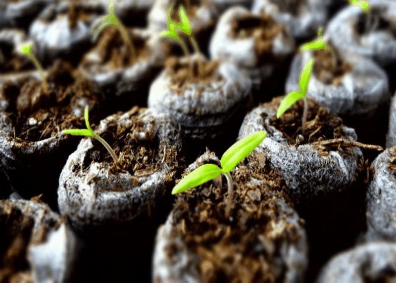 Как избавиться от плесени в рассаде