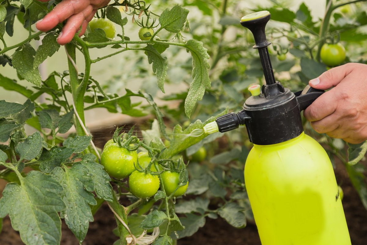 Как бороться с вершинной гнилью на помидорах
