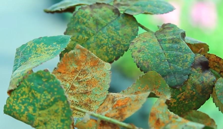 Как и чем лечить ржавчину на листьях розы